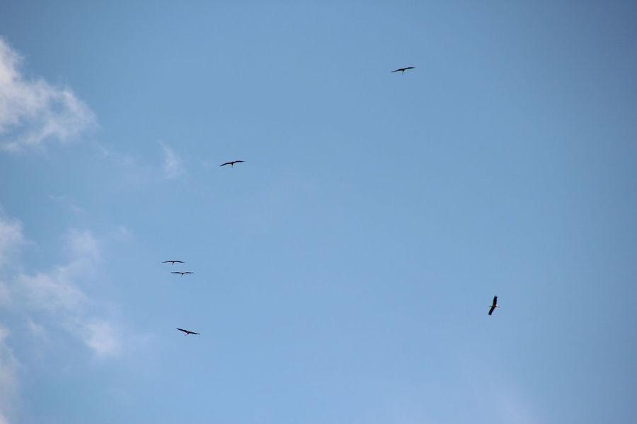 Storks fly to the South Beauty In Nature Bird Bird Photography Birds Birds In Flight Birds Of EyeEm  Birds_collection Birds🐦⛅ Day Flight Flying Mid-air Nature Outdoors Scenics Sky Spread Wings Stork Storks Störche
