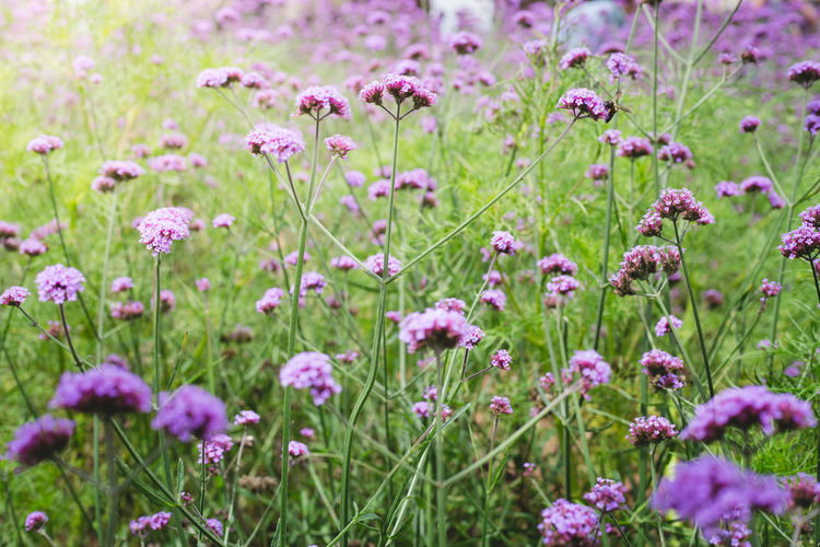 Verbena field Verbena Beauty In Nature Close-up Field Flower Flower Head Flowerbed Flowering Plant Fragility Freshness Garden Green Color Growth Herb Land Nature No People Ornamental Garden Outdoors Pink Color Plant Purple Softness Springtime Summer