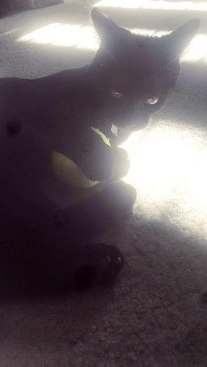 Paint The Town Yellow Sunlight Close-up Day Shadow Kitten 🐱 Kitten Kitten Photography Kitten Love Kittenoftheday Tennis 🎾 tennislover Tennislover❤ Ball Tennis Ball Kittens People