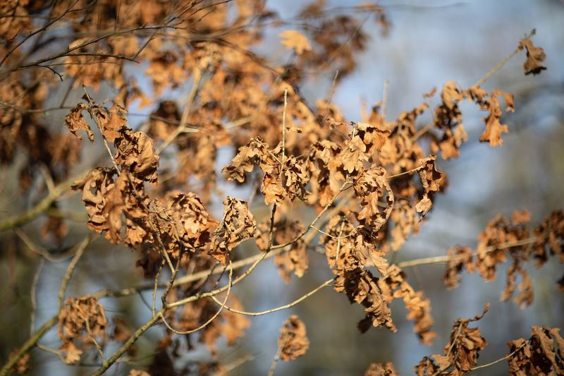 Autumn Leaves Autumn🍁🍁🍁 Brown Dying Leaves Plant Beauty In Nature Focus On Foreground Day No People Nature Growth Fragility Dry Close-up Branch Vulnerability  Tree