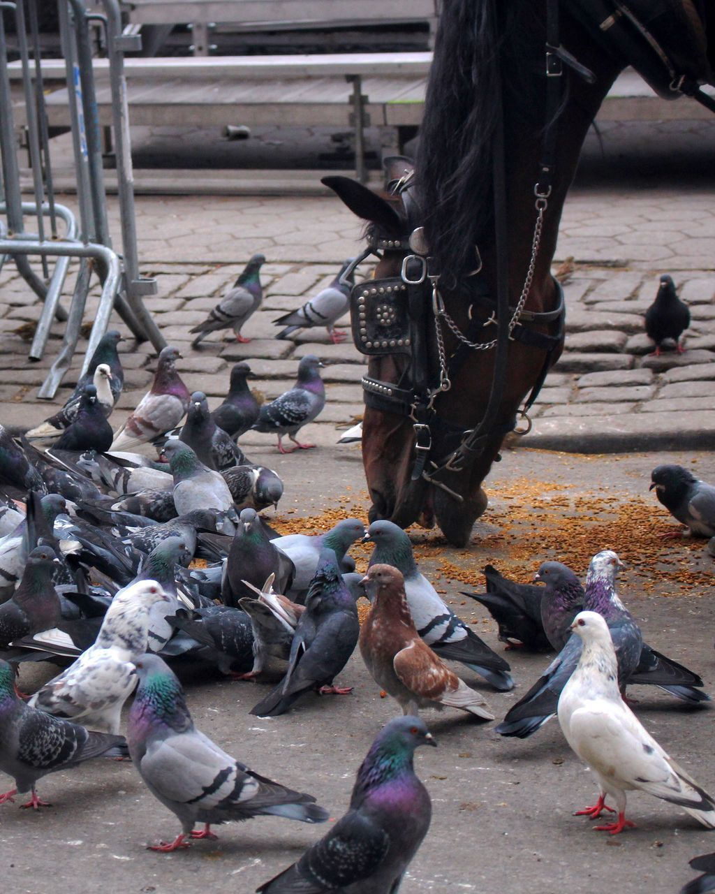 Horse Eating Amidst Pigeons On Street