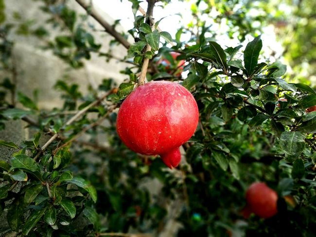 Fruit Tree Red Food And Drink Growth Freshness Hanging Food Healthy Eating No People Day Nature Close-up Branch Outdoors Leaf Agriculture Plant Beauty In Nature