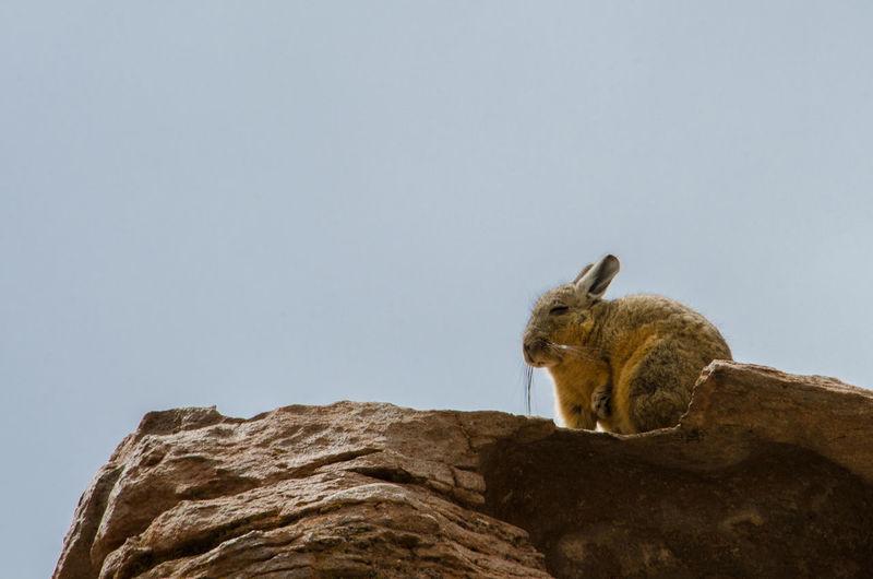 Rabbit on rock against clear sky