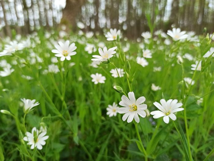 Close-up of white daisy flowers on field