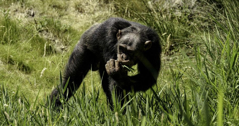 Gorilla eating grass