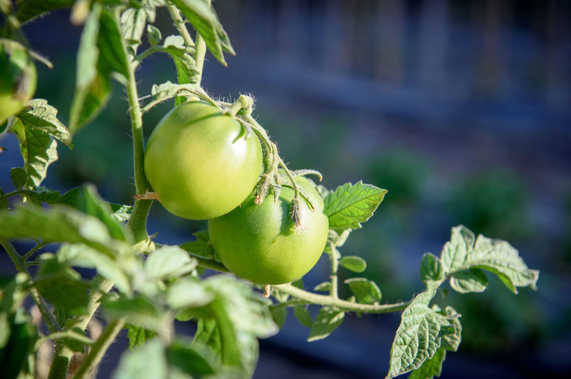 Close-up of tomatoes growing on plant at vegetable garden