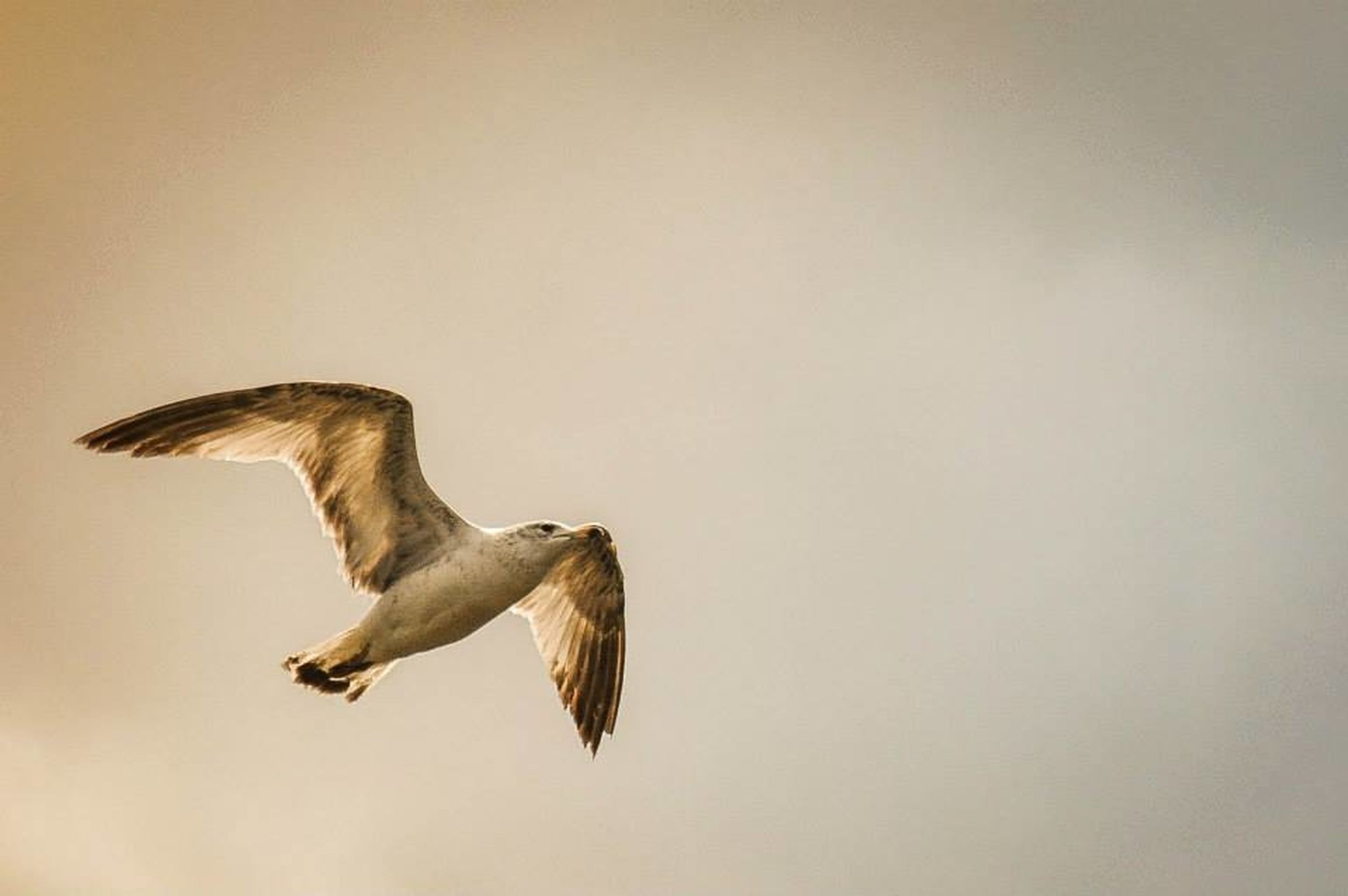 animal themes, bird, animals in the wild, one animal, wildlife, flying, spread wings, mid-air, seagull, low angle view, copy space, full length, side view, clear sky, nature, no people, outdoors, zoology, day, motion