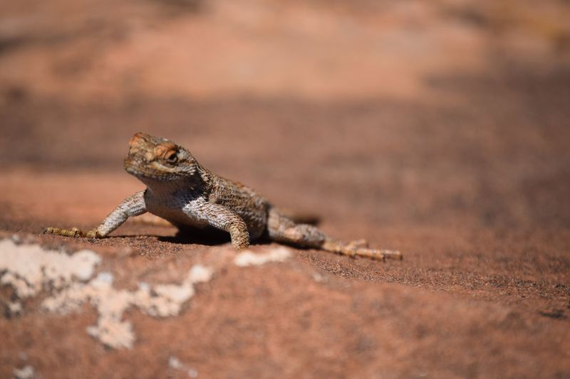 Desert Zion National Park Animal Animal Head  Animal Themes Animal Wildlife Animals In The Wild Arid Climate Close-up Day Lizard Nature No People One Animal Outdoors Reptile Selective Focus Vertebrate EyeEmNewHere
