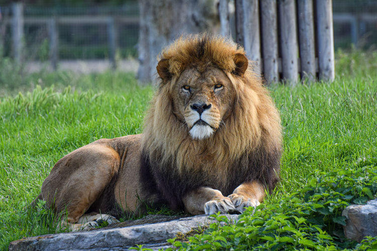 Portrait of lion sitting in a zoo