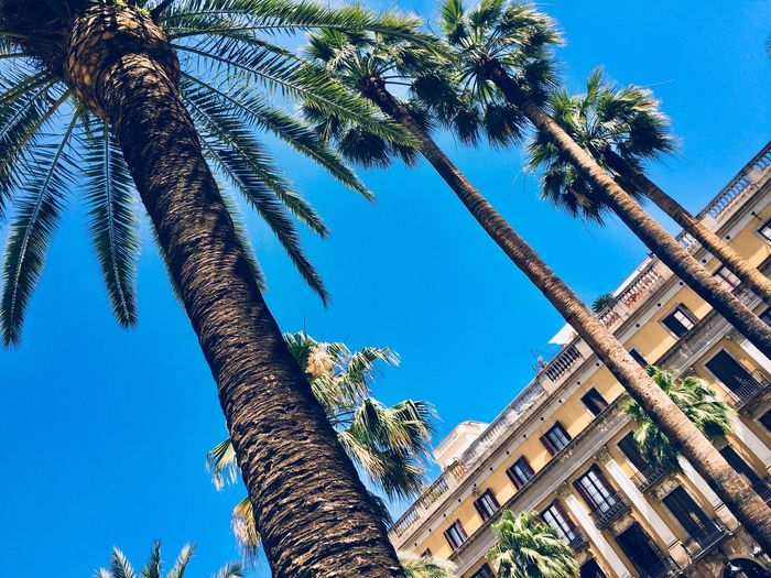Tree Palm Tree Low Angle View Tree Trunk Day Blue Sky Clear Sky Growth Nature No People Outdoors Palm Frond Branch Beauty In Nature Architecture Building Exterior Barcelona EyeEmNewHere EyeEmNewHere Be. Ready. EyeEm Ready   EyeEmNewHere EyeEm Ready