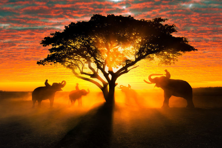 Elephant silhouette on sunset background thai elephants in surin province, thailand