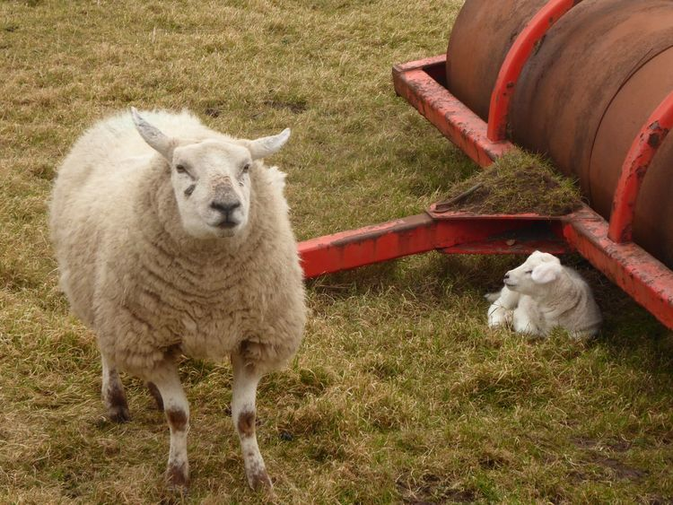 Newborn lamb on isle of Lewis Spring Has Arrived Spring Scotland Newborn Lamb Lamb Farm Mammal Outdoors No People Day Animal Themes Grass Domestic Animals Pets Nature