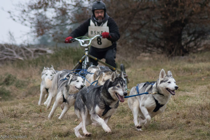 Taking the dogs for a walk - Siberian husky racing A Walk In The Forest A Walk In The Woods Animals In Captivity Dog Days Dog Racing Dog Walking Doghandlers Dogs Of EyeEm Dogslife Domestic Animals Eye4photography  EyeEm Best Shots Freeze Action It's A Dog's Life Mushers No Snow Husky Racing Outdoors Running Dog Siberian Husky Dog Racing Sledge Dog Sledge Racing Taking The Dog For A Walk These Are Not Pets Working Dogs