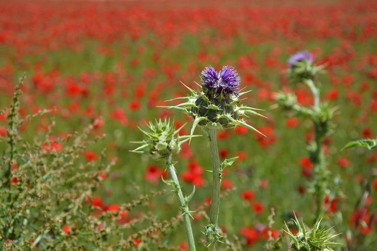 The Essence Of Summer thistles poppies poppy field plants summer red purple green colors grass nature beauty landscape Fine Art Photography Colour Of Life Miles Away Break The Mold Sommergefühle Breathing Space Been There.