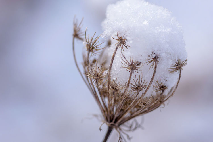 Queen Anne's Lace Top Wildflower Beauty In Nature Close-up Day Dried Dry Flower Flower Head Focus On Foreground Fragility Freshness Front View Headshot Macro Nature No People Outdoors Plant Sky Snow Snowflake Softness Winter