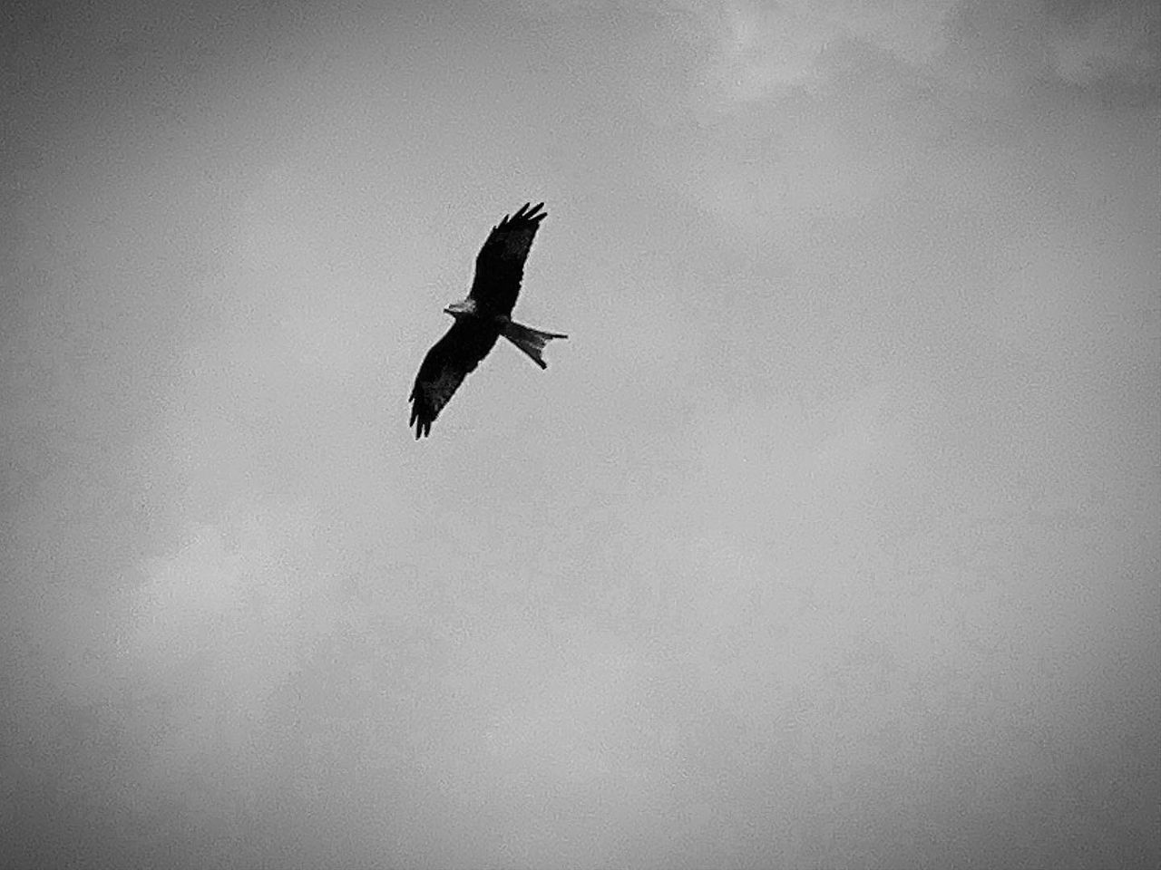 vertebrate, flying, animal themes, animals in the wild, bird, animal wildlife, animal, one animal, spread wings, low angle view, mid-air, sky, no people, nature, day, outdoors, motion, silhouette, cloud - sky, full length