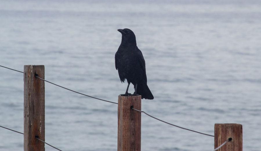 Moonlight Beach Encintas Wildlife Photography Wild Beach Wildlife & Nature Wildlife Crow Adapted To The City