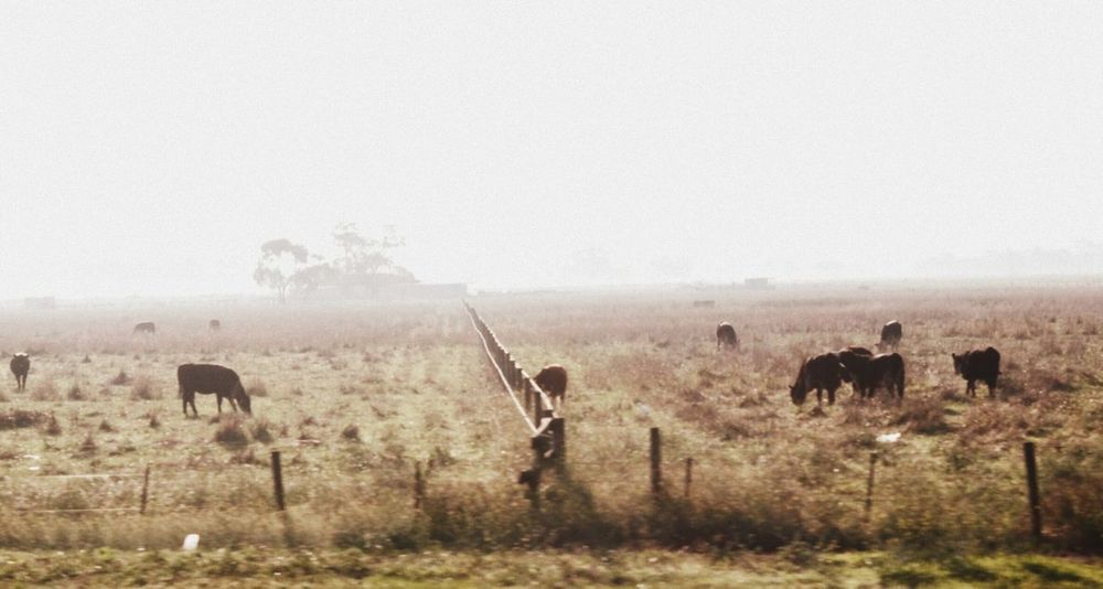 Animals In The Wild Animal Wildlife Animal Herd Nature Animal Themes Mammal Outdoors Grass Grazing Day Safari Animals Large Group Of Animals Fog No People Full Length Beauty In Nature Sky