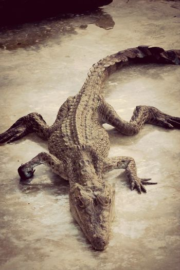 crocodile or dragon??? Check This Out