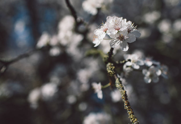 Flowering Plant Fragility Flower Plant Vulnerability  Beauty In Nature Growth Freshness Blossom Springtime Close-up Nature White Color Tree Day Cherry Blossom Focus On Foreground No People Branch Selective Focus Flower Head Outdoors Cherry Tree Pollen Spring