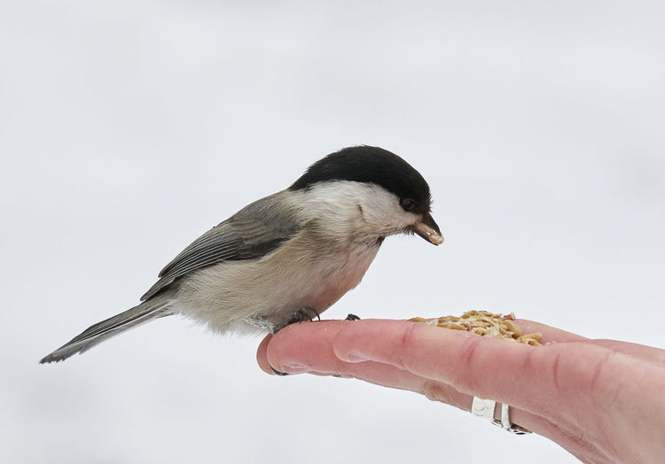 Close-up of hand holding bird against clear sky