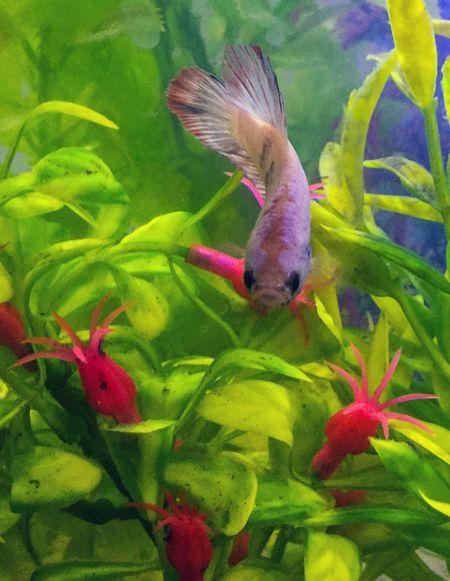 Betta Lovers Bettafish Bettafishcommunity Betta  Betta Fish Bettas
