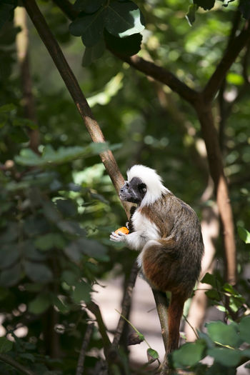 Cotton-Top Tamarin Monkey in the Trees Monkey Cotton-Top Tamarin Primate Zoo Cotton Headed Saguinus Oedipus Endangered Species Safari Herbivore Wild Rainforest Tropical Creature Mammal Nature Conservation Furry Fluffy Cute Callitrichidae