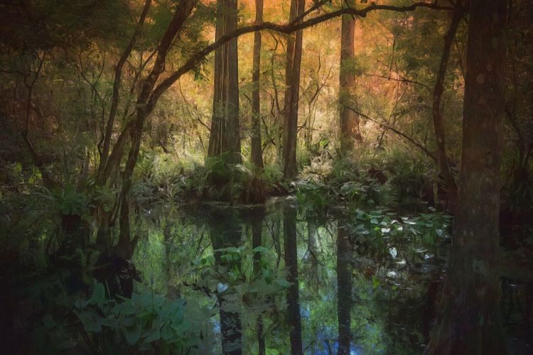Swamp Corkscew SwampPreserve Taking Photos Naturephotography Beauty In Nature Tranquility Cypress Trees  Nikonphotography IPad Edit