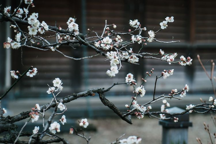Flower Flowering Plant Plant Fragility Tree Branch Vulnerability  Nature Beauty In Nature Freshness White Color Blossom Close-up Outdoors Growth Focus On Foreground No People Day Twig Built Structure