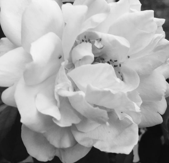 Flowers Home At My House <3 Taken & Edited With My IPhone Taken & Edited By Me B&w Nature B&w Photography Blackandwhite Black & White Taken And Edited By Me