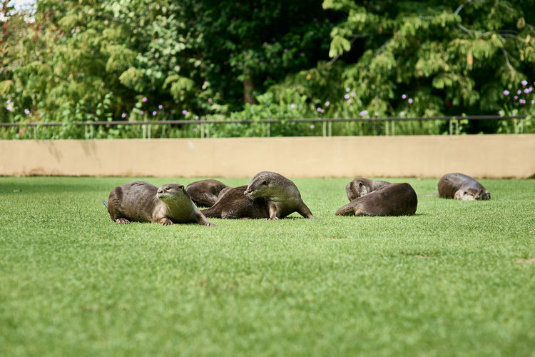 View of sheep resting on field