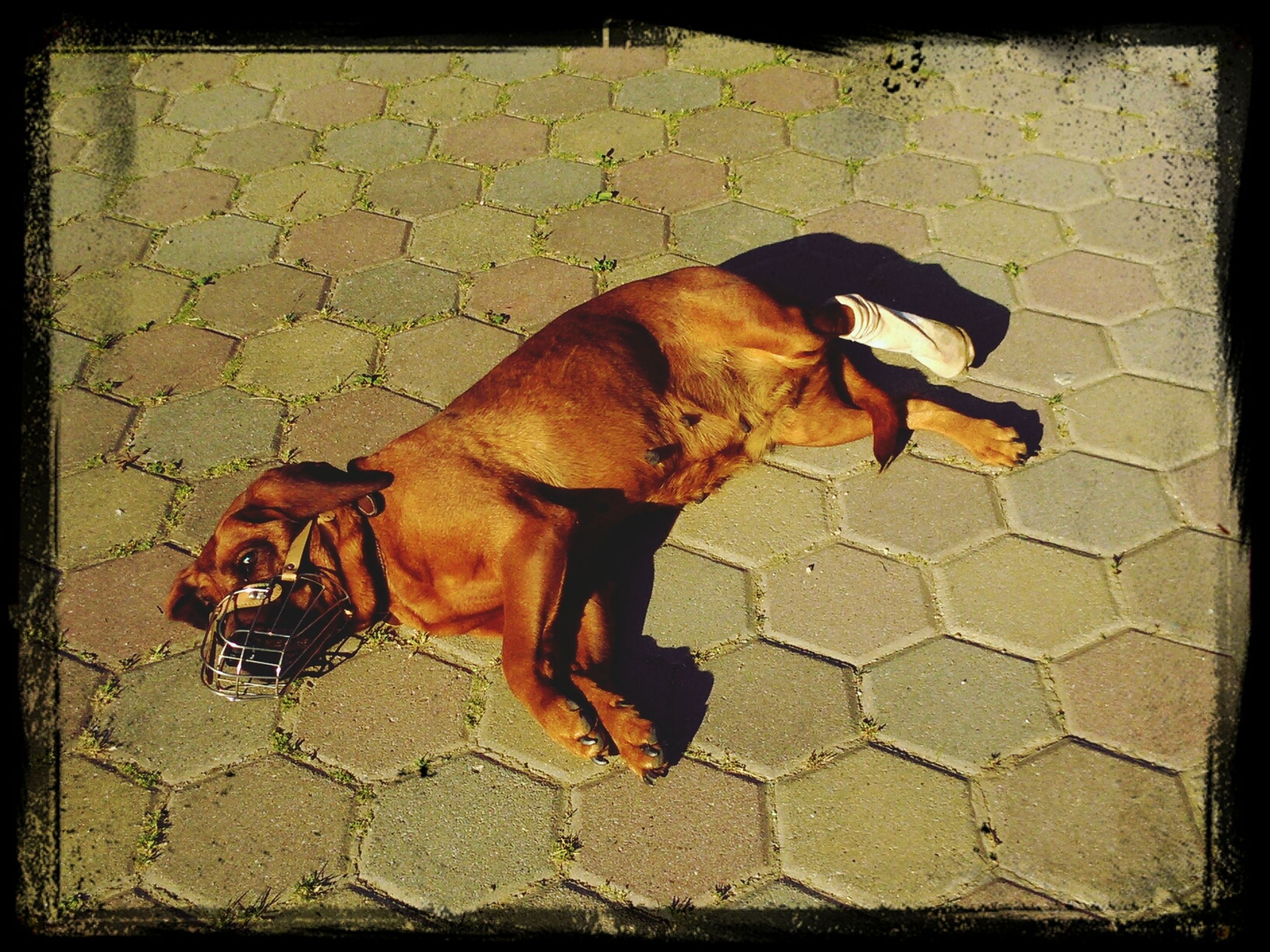 domestic animals, animal themes, mammal, dog, one animal, pets, transfer print, brown, auto post production filter, high angle view, pet collar, street, full length, outdoors, zoology, no people, animal, sunlight, relaxation, cobblestone