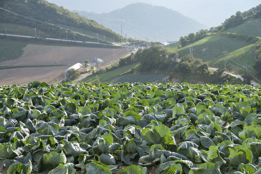 Anbandegi, a famous napa cabbage farm in Gangreung, Gangwondo, South Korea Anbandegi Cabbage Farm Gangreung Napa Cabbage Field Agriculture Beauty In Nature Cabbage Field Day Field Freshness Green Color Growth Landscape Mountain Mountain Range Napa Cabbage Napa Cabbage Farm Nature No People Outdoors Plant Rural Landscape Rural Scene Scenics Tranquility Vegetable