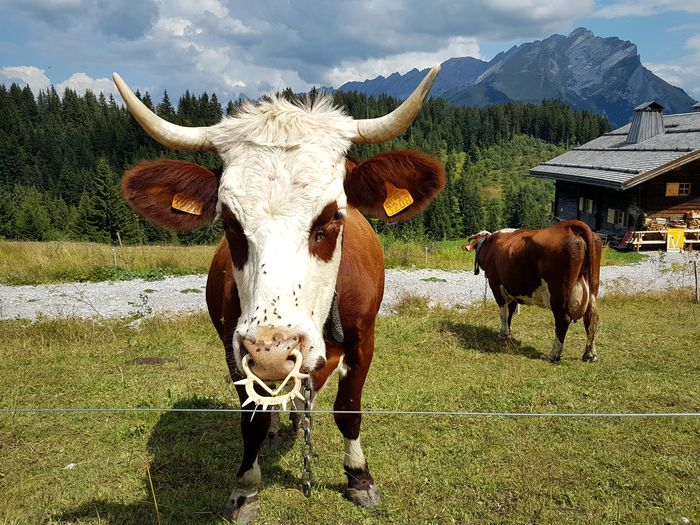 A fashionable cow with piercing. Piercing Flies Head Of Animal Cow Head Mountain Life Looking At Camera Looking At Me? Cow And Field Cow Sky Cattle