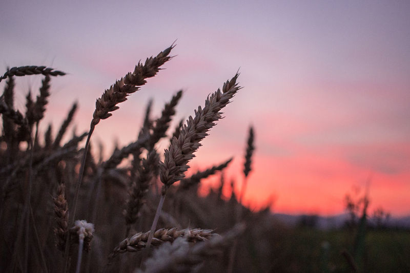 Giugno color del grano 🌾🌾🌾 Sunset Nature Beauty In Nature Tranquility Growth Countrylife Brescia Landscape Sky Fields Nature Landscape_photography Red