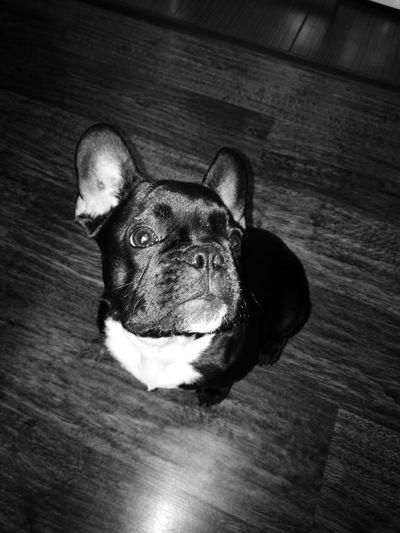 Indoors  Animal Themes Dog❤ Frenchbulldog Domestic Animals Pets Close-up