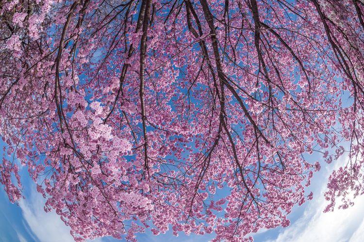 河津桜 Japan Sakura Japanese Cherry Blossoms Cherry Blossoms Tokyo Photooftheday Nikonphotography Flowers 桜 Spring Urban Spring Fever Check This Out