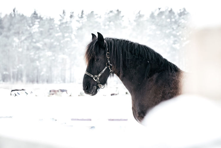 Horse in a snow