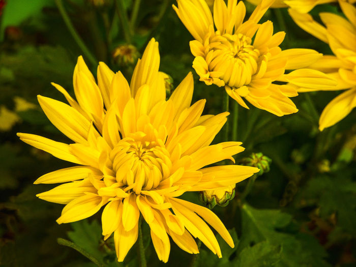 Close-up of yellow chrysanthemums blooming in park