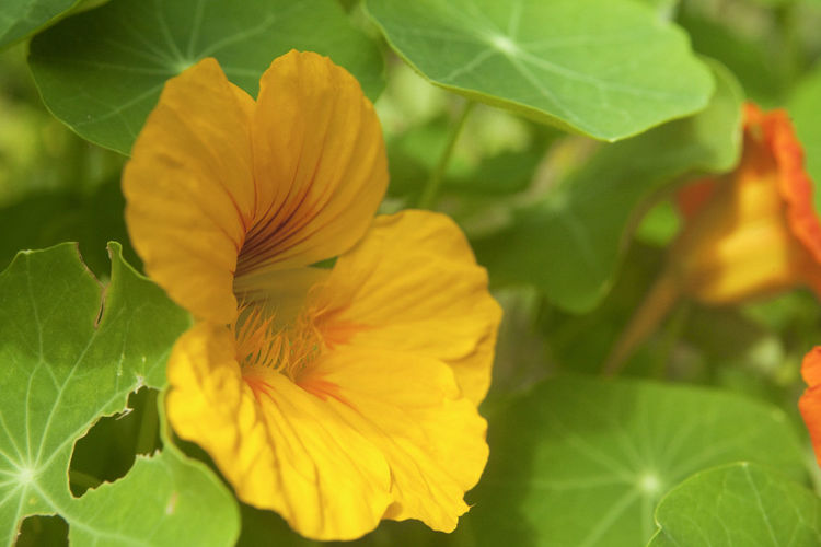 Flowers,Plants & Garden Beauty In Nature Blooming Close-up Day Flower Flower Head Flowers Flowers, Nature And Beauty Fragility Freshness Garden Garden Photography Green Color Growth Leaf Nasturtium Nature No People Outdoors Petal Plant Yellow