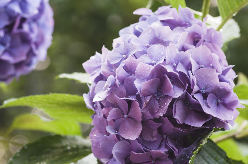 wet hydrangeas in bloom - springtime Beauty In Nature Blooming Close-up Day Flower Flower Head Focus On Foreground Fragility Freshness Growth Hydrangea Hydrangeas Lilac Nature No People Outdoors Petal Plant Purple Wet Flowers