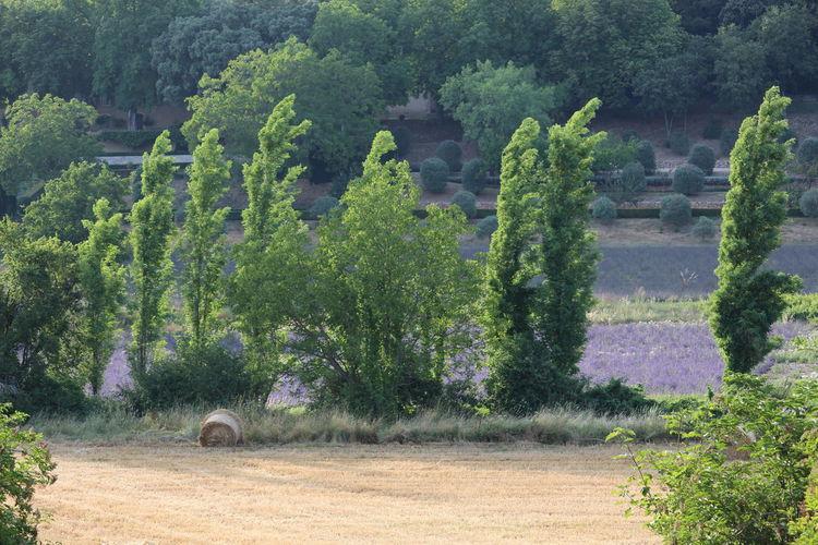 Foin Paille BLE Rouleau Lavender Lavande Provence Nature Tree Plant Green Color Plant Nature Arbres Champs Agriculture