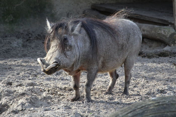 Looking At Camera Raw Animal Themes Canon Close-up Day Nature No Edit/no Filter No People One Animal Outdoors Portrait Warthog