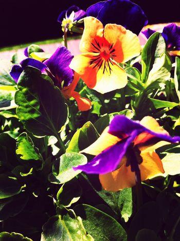 Yellow Purple Spring Flowers EyeEm Nature Lover