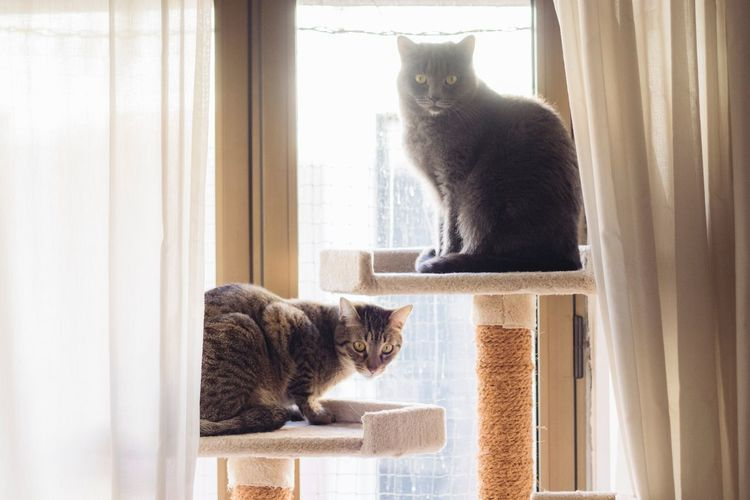 Two Cats Grey Cat EyeEm Selects Domestic Cat Pets Feline Animal Themes Domestic Animals Cat Mammal Window Window Sill Sitting Indoors  Curtain Whisker Day Home Interior No People Looking Through Window