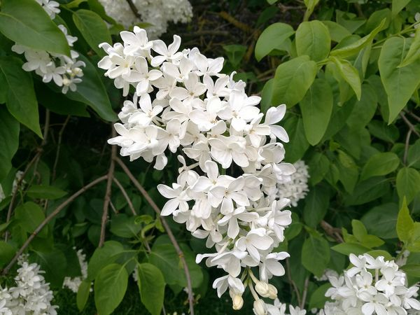 Lilac White Lilac White Blossoms White Flowers Flower White Color White And Green Nature Beauty In Nature Close-up Growth Green Color Outdoors Freshness Smartphone Photography Spring Freshness Spring P9 Huawei Spring Flowers Springtime Flowers And Leaves Spring Photography Lilacs Flowers Flower Photography