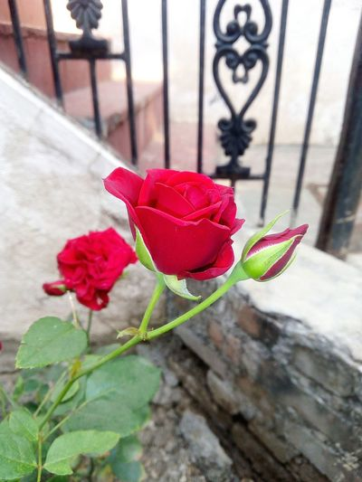 Click by me on mobile Flower Red Rose - Flower Close-up Plant Architecture Building Exterior Petal First Eyeem Photo EyeEmNewHere This Is Masculinity Moving Around Rome Modern Workplace Culture
