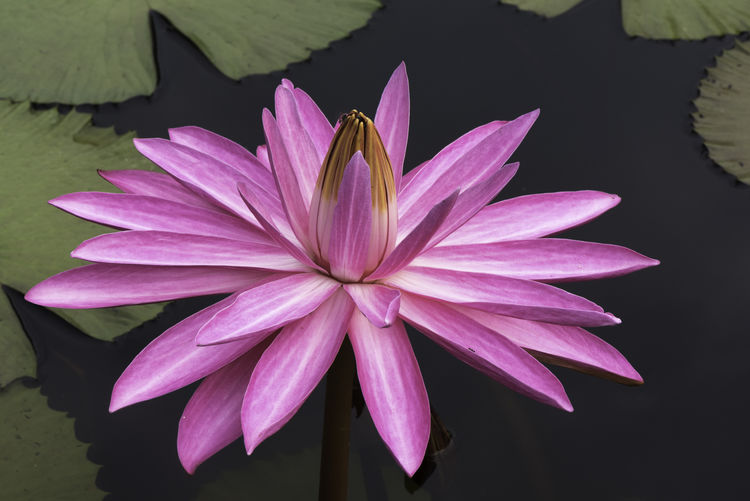 Beautiful pink lotus Flower Flowering Plant Petal Vulnerability  Fragility Beauty In Nature Freshness Flower Head Plant Close-up Water Lily Pink Color Lake Growth Nature Water Inflorescence Pollen Floating On Water No People Lotus Water Lily