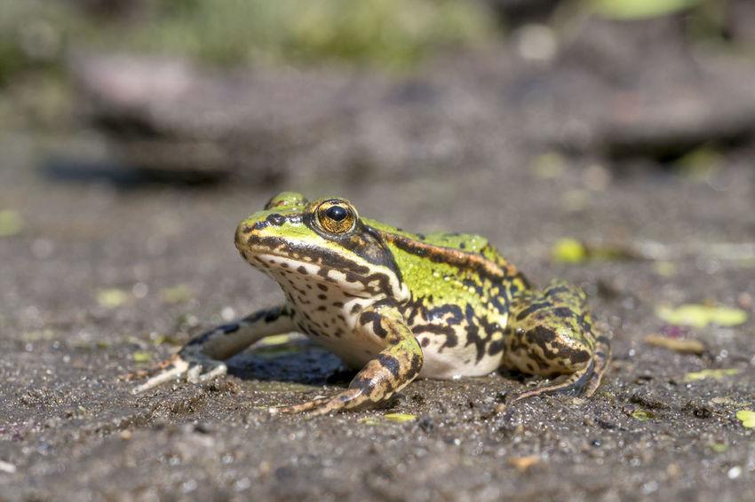 Edible frog, Common water frog, Pelophylax esculentus Frog Nature Summertime Animal Common Outdoors Summer Water