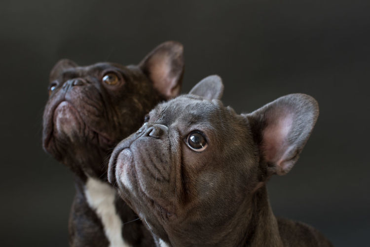 Close-Up Of Two French Bulldogs Looking Up